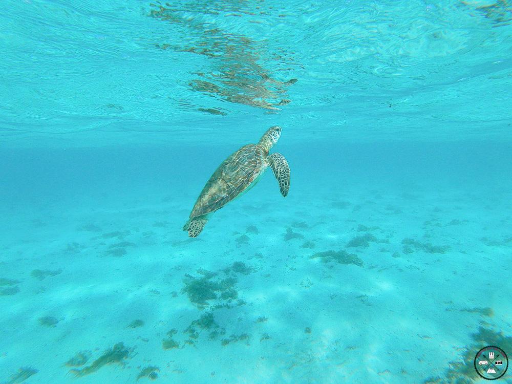 Tortue des iles de Petite Terre en Guadeloupe