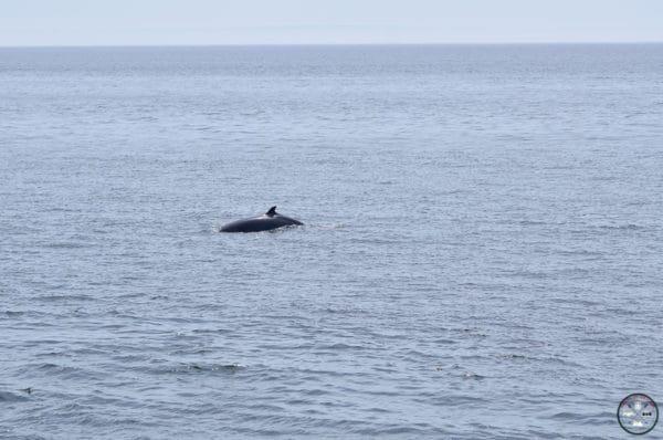 baleine cap bon désir cote nord