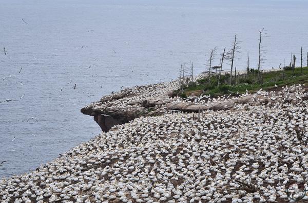 colonie fous de bassan au parc national bonaventure